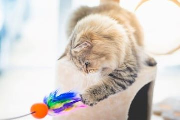 cute-persian-cat-playing-toy-260nw-609486527